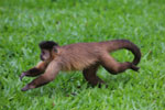 Black-striped capuchin (Sapajus libidinosus) [bonito_0396]