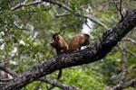 Black-striped capuchin (Sapajus libidinosus) [bonito_0415]