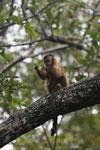 Black-striped capuchin (Sapajus libidinosus) [bonito_0417]