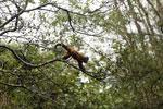 Black-striped capuchin (Sapajus libidinosus) [bonito_0418]