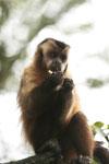 Black-striped capuchin (Sapajus libidinosus) [bonito_0419]
