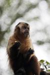 Black-striped capuchin (Sapajus libidinosus) [bonito_0420]