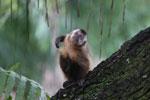 Black-striped capuchin (Sapajus libidinosus) [bonito_0421]