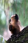 Black-striped capuchin (Sapajus libidinosus) [bonito_0423]