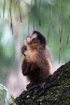 Black-striped capuchin (Sapajus libidinosus) [bonito_0424]