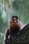 Black-striped capuchin (Sapajus libidinosus) [bonito_0425]