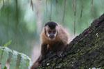 Black-striped capuchin (Sapajus libidinosus) [bonito_0426]