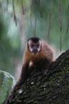 Black-striped capuchin (Sapajus libidinosus) [bonito_0428]