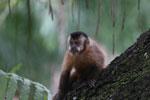 Black-striped capuchin (Sapajus libidinosus) [bonito_0432]