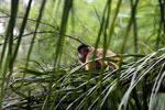 Black-striped capuchin (Sapajus libidinosus) [bonito_0433]