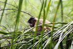 Black-striped capuchin (Sapajus libidinosus) [bonito_0435]