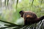Black-striped capuchin (Sapajus libidinosus) [bonito_0436]