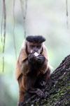 Black-striped capuchin (Sapajus libidinosus) [bonito_0437]