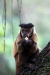 Black-striped capuchin (Sapajus libidinosus) [bonito_0439]