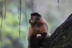 Black-striped capuchin (Sapajus libidinosus) [bonito_0440]