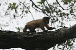 Black-striped capuchin (Sapajus libidinosus) [bonito_0442]