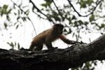 Black-striped capuchin (Sapajus libidinosus) [bonito_0443]