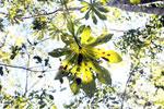 Cecropia leaf [bonito_0446]