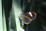 Transparent butterfly [bonito_0453]
