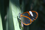 Transparent butterfly [bonito_0455]