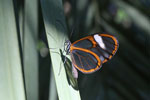 Transparent butterfly [bonito_0458]