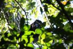 Black howler monkey (Alouatta caraya) [bonito_0459]