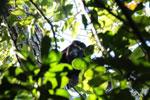 Black howler monkey (Alouatta caraya) [bonito_0460]