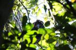 Black howler monkey (Alouatta caraya) [bonito_0462]
