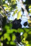 Black howler monkey (Alouatta caraya) [bonito_0463]