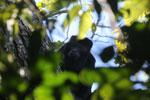 Black howler monkey (Alouatta caraya) [bonito_0464]