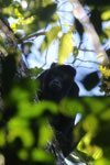 Black howler monkey (Alouatta caraya) [bonito_0467]