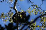 Black howler monkey (Alouatta caraya) [bonito_0469]