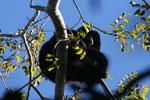 Black howler monkey (Alouatta caraya) [bonito_0470]