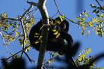 Black howler monkey (Alouatta caraya) [bonito_0471]