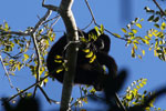 Black howler monkey (Alouatta caraya) [bonito_0472]