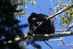 Black howler monkey (Alouatta caraya) [bonito_0473]