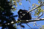 Black howler monkey (Alouatta caraya) [bonito_0474]