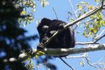 Black howler monkey (Alouatta caraya) [bonito_0475]