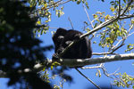 Black howler monkey (Alouatta caraya) [bonito_0476]