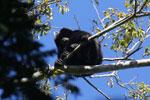 Black howler monkey (Alouatta caraya) [bonito_0477]
