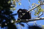 Black howler monkey (Alouatta caraya) [bonito_0478]
