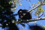 Black howler monkey (Alouatta caraya) [bonito_0479]