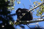 Black howler monkey (Alouatta caraya) [bonito_0480]