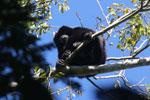 Black howler monkey (Alouatta caraya) [bonito_0482]
