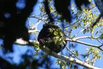 Black howler monkey (Alouatta caraya) [bonito_0483]