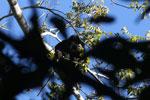 Black howler monkey (Alouatta caraya) [bonito_0484]