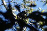 Black howler monkey (Alouatta caraya) [bonito_0485]