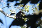 Black howler monkey (Alouatta caraya) [bonito_0486]