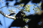 Black howler monkey (Alouatta caraya) [bonito_0487]