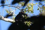 Black howler monkey (Alouatta caraya) [bonito_0488]